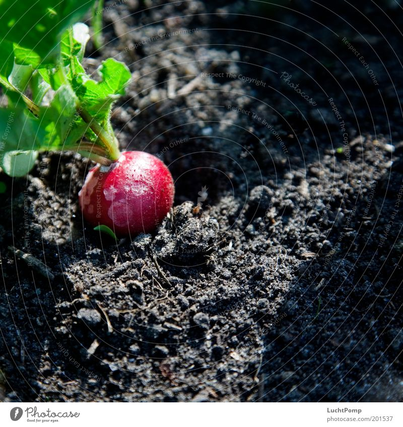 Ungespritzt Natur grün rot schwarz Garten Gesundheit Erde rund Scharfer Geschmack natürlich Gemüse lecker Appetit & Hunger reif Ernte