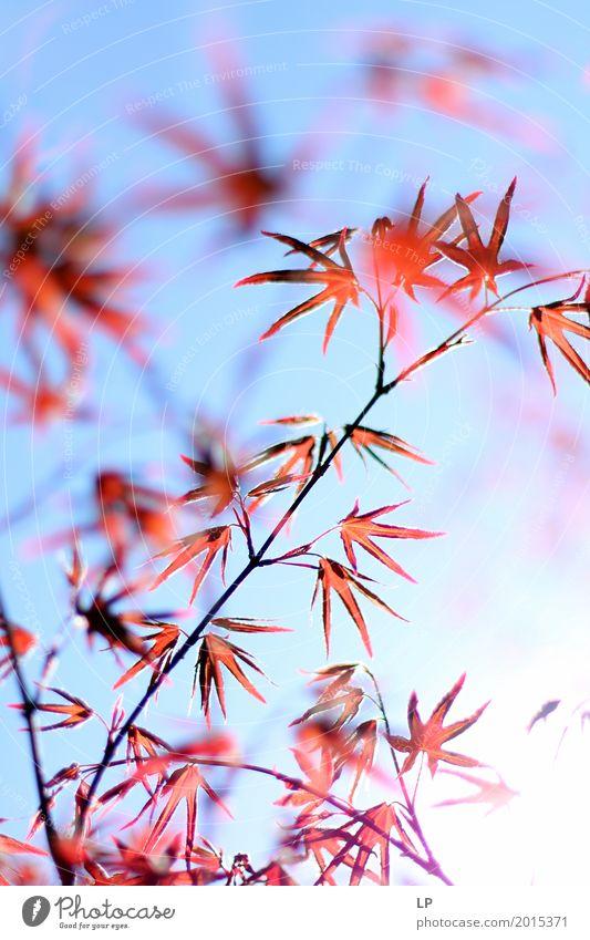 Rote Blätter auf blauem Hintergrund Umwelt Natur Frühling Sommer Herbst Pflanze Baum Blatt Garten Park Wiese Gefühle zart durchscheinend Chinesischer Garten