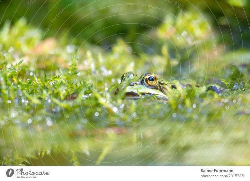 Porträt eines Frosches im Teich Natur Pflanze Wasser Tier Umwelt Frühling Garten Park Zufriedenheit Sumpf Nutztier Moor Tierliebe