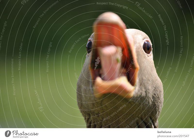 Gans - aus dem Häuschen! Tier Auge Kopf Vogel Wildtier bedrohlich Feder Schutz Wut schreien Schnabel Zunge Aggression Nervosität Gans Morgen