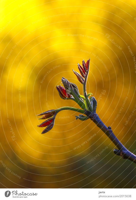 wachsen Natur Pflanze Frühling Schönes Wetter Baum Blatt Wachstum frisch schön natürlich Kraft Gelassenheit geduldig ruhig Hoffnung Walnussblatt