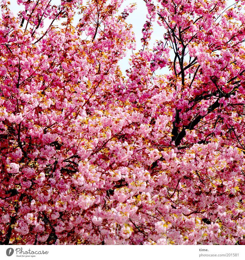 Großfamilie Frühling Blüte Pflanze Baum Ast Zweig rosa Tiefenschärfe Außenaufnahme Schutz Wachstum frisch explosiv üppig (Wuchs) Laubbaum Kirschblüten