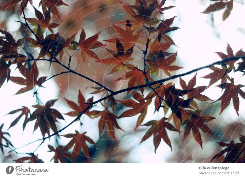 netzwerk Umwelt Natur Herbst Blatt ästhetisch authentisch natürlich braun rot Farbe Perspektive Stimmung Spitzahorn Farbfoto Außenaufnahme Froschperspektive