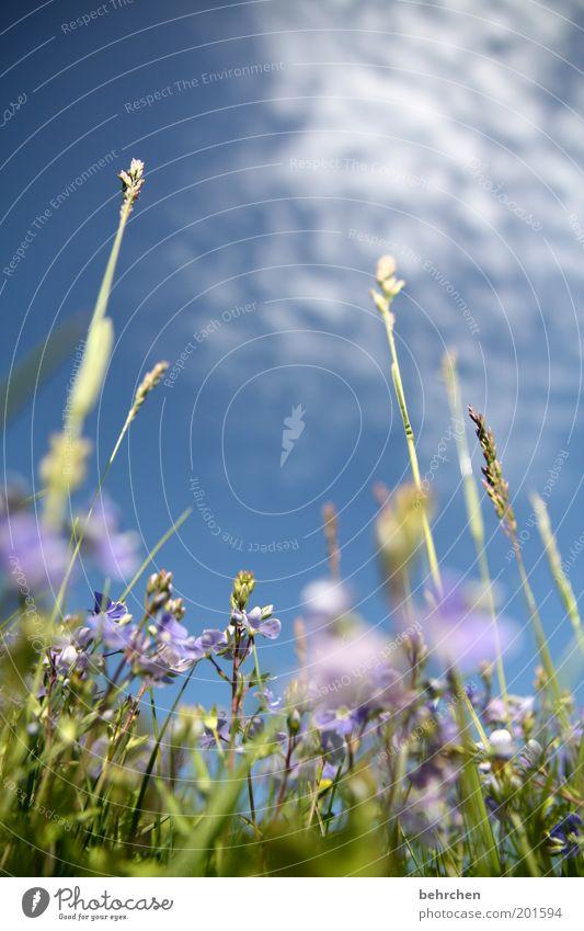 veronica, der lenz ist da Natur Pflanze Himmel Wolken Frühling Sommer Schönes Wetter Blume Gras Blüte Wiese Feld Blühend genießen träumen Zufriedenheit geduldig