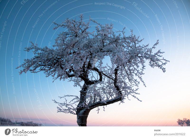 Zauberbaum Umwelt Natur Landschaft Urelemente Luft Himmel Wolkenloser Himmel Winter Klima Schönes Wetter Eis Frost Schnee Baum ästhetisch kalt schön blau