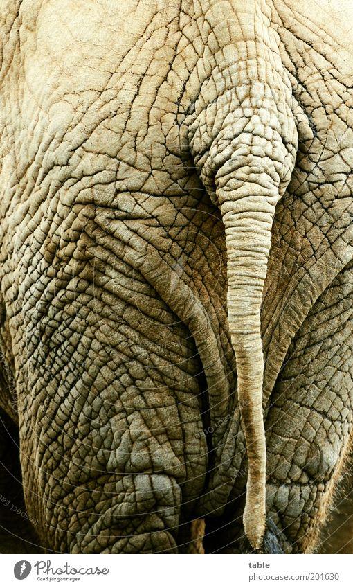 Desinteresse schön alt Senior Tier dunkel grau Beine Kraft dreckig laufen stehen bedrohlich Hinterteil einzigartig Hautfalten lang