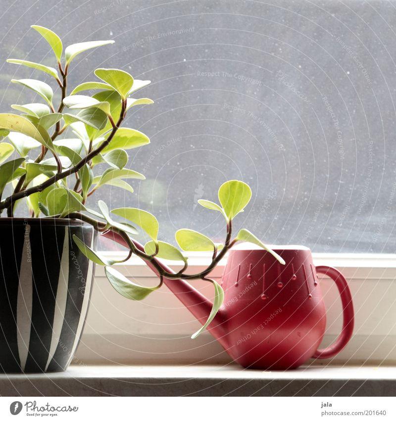 fensterbank schön weiß Pflanze rot schwarz Fenster Glas ästhetisch retro Häusliches Leben Sechziger Jahre Blumentopf Gießkanne Fünfziger Jahre Fensterbrett