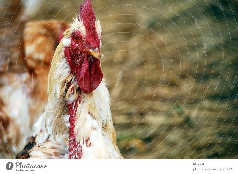 Glückliche Hühner sehen anders aus! alt Tier Gefühle Traurigkeit Vogel Feder Landwirtschaft hässlich Haushuhn verstört Nutztier Viehhaltung Blick Hahnenkamm Freilandhaltung