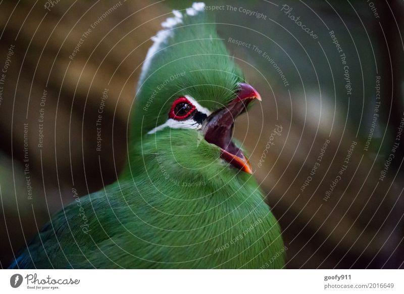 Was geht ab??? Umwelt Natur Sommer Garten Südafrika Afrika Tier Wildtier Vogel Tiergesicht Flügel Fell Zoo Schnabel 1 beobachten Kommunizieren schreien