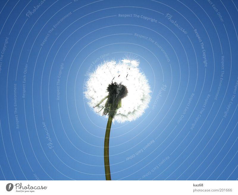Allergiekugel Himmel Natur blau Pflanze Sonne Sommer Blume Einsamkeit Umwelt Wiese Wärme Glück Wetter leuchten weich Schönes Wetter