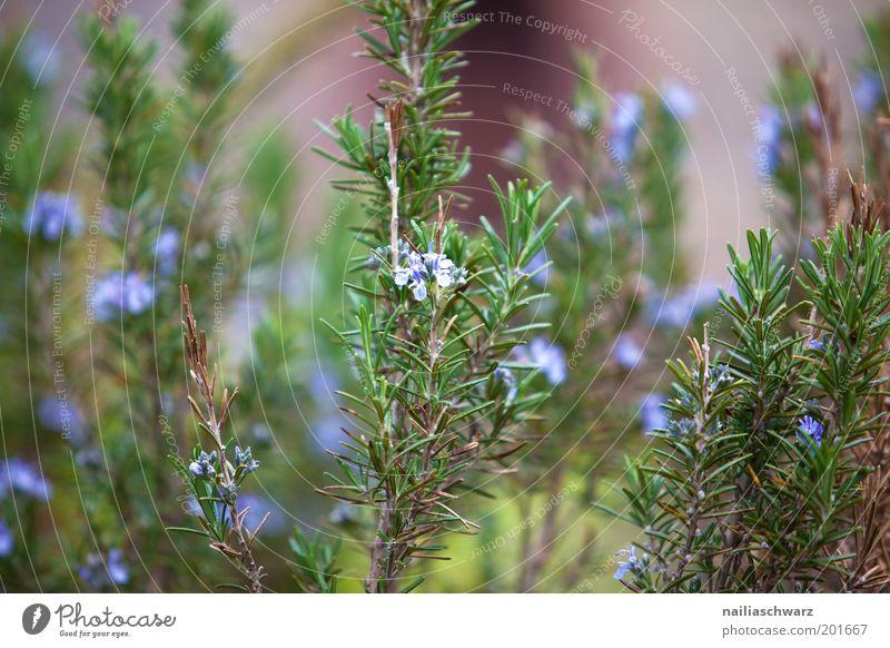 Rosmarin Umwelt Natur Pflanze Nutzpflanze Garten blau grün violett Farbfoto mehrfarbig Außenaufnahme Nahaufnahme Detailaufnahme Menschenleer Tag