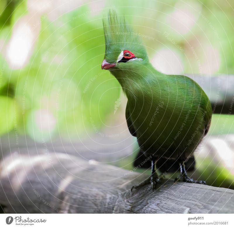 Helmturako Umwelt Natur Landschaft Frühling Sommer Garten Park Afrika Tier Wildtier Vogel Tiergesicht Flügel Fell Krallen Fährte Zoo 1 beobachten Bewegung Blick