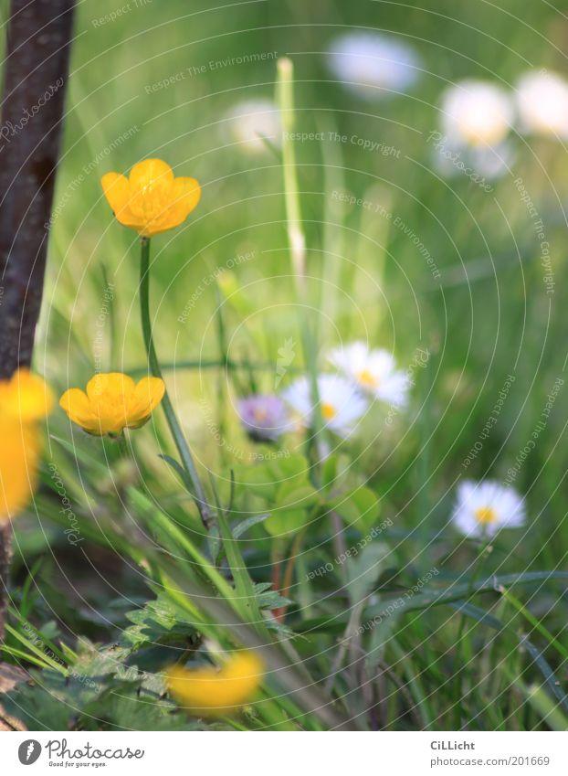 Frosch Perspektive Umwelt Natur Pflanze Frühling Sommer Blume Gras Blüte Grünpflanze Garten Wiese ästhetisch gelb grün weiß Zufriedenheit Lebensfreude