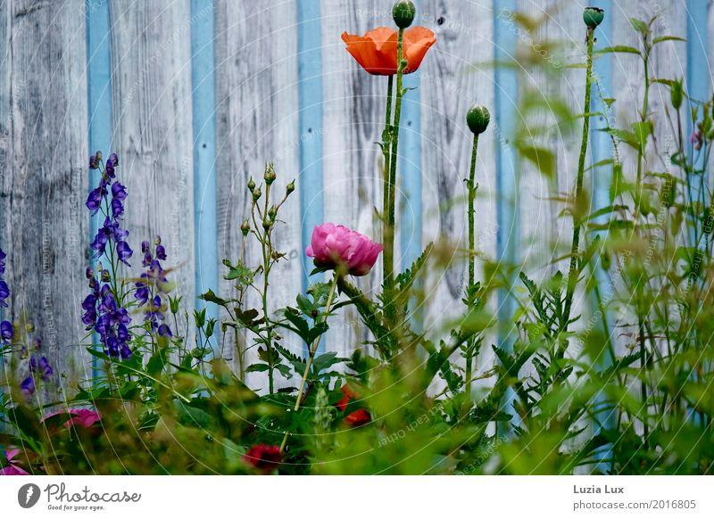 Sommerblumen, an Himmelblau Garten Pflanze Frühling Schönes Wetter Blume Blüte Mauer Wand mehrfarbig Frühlingsgefühle bunt sommerlich Blütenknospen Farbfoto