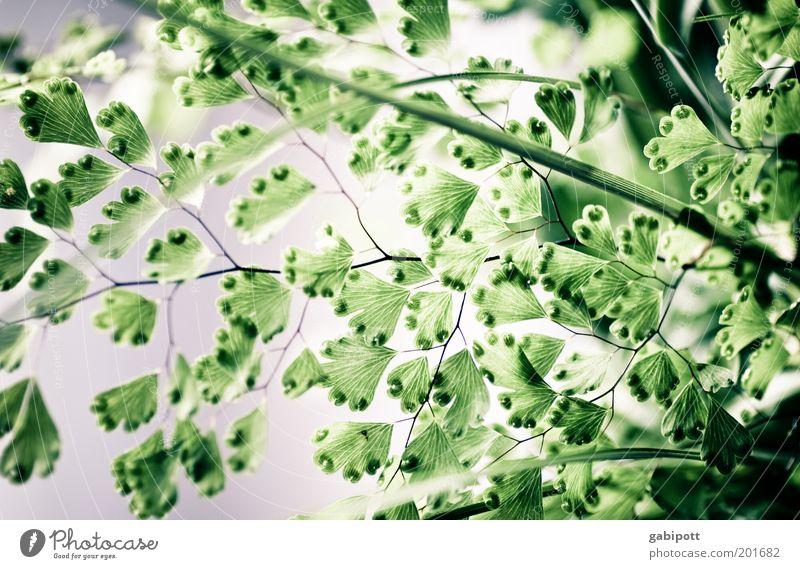 Blätter mit Saugnapfen Umwelt Natur Pflanze Sträucher Blatt Grünpflanze außergewöhnlich grün Frühlingsgefühle Blattadern Blattgrün Metamorphose Photosynthese