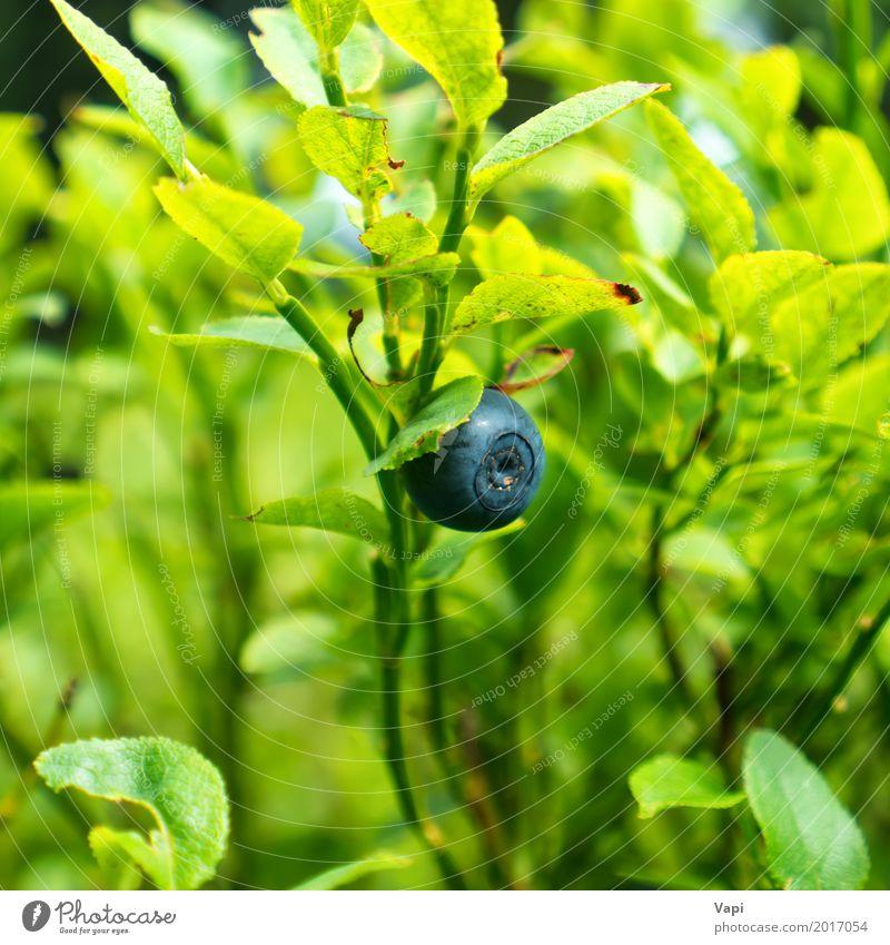 Wilde Blaubeere auf dem Busch im Wald Natur Pflanze blau Sommer grün Gesunde Ernährung Blatt gelb Herbst Frühling Gras Lebensmittel wild Frucht