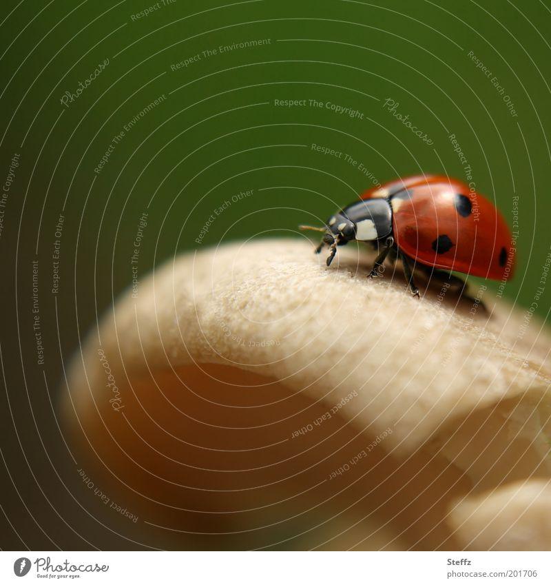 Glückspilz - Glücksbringer auf dem Pilzhut Marienkäfer Glückssymbol Glückwünsche dunkelgrün natürlich krabbeln rot beige rund Glückskäfer klein Tier Herbstlicht