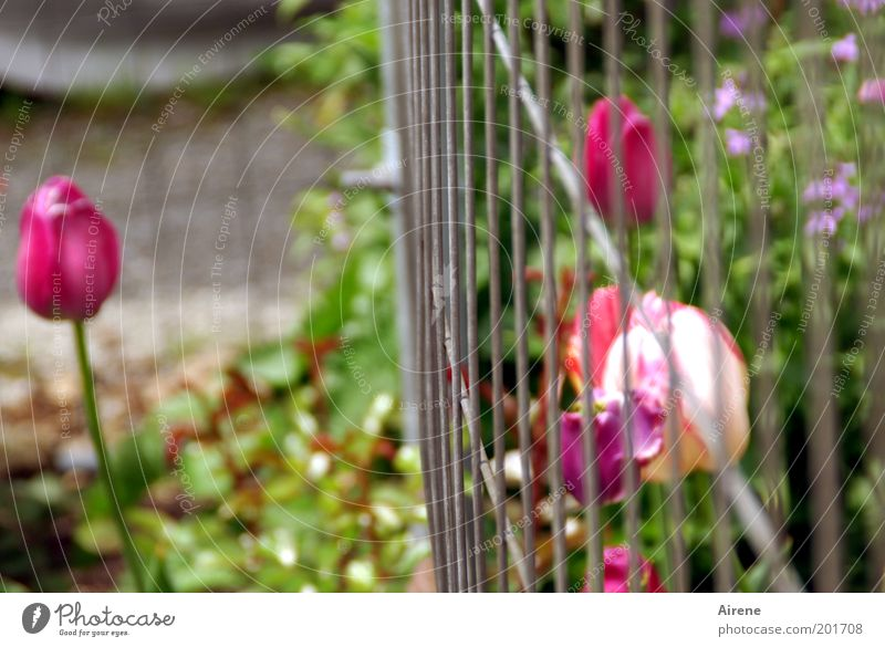 ... müssen leider draußen bleiben Frühling Blume Tulpe Garten Blumenbeet Zaun Gitter Bauzaun Metall Blühend Kommunizieren rebellisch grau grün rosa selbstbewußt