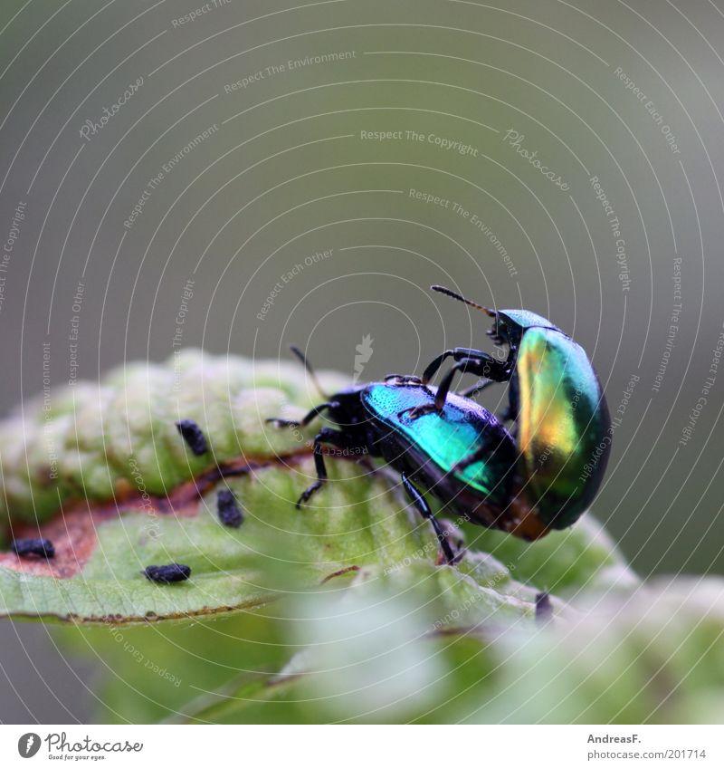 Tierliebe Umwelt Natur Blatt Käfer 2 Frühlingsgefühle Insekt Farbfoto Außenaufnahme Nahaufnahme Detailaufnahme Makroaufnahme Textfreiraum oben Tierporträt