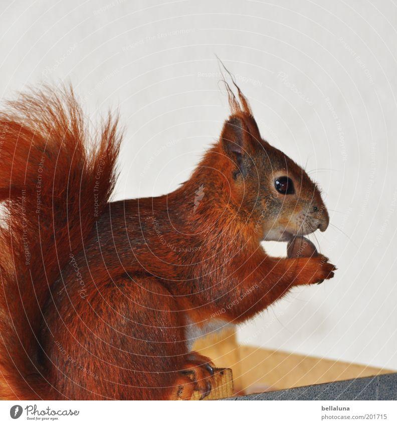Kleiner Stammgast Tier Wildtier Tiergesicht Fell Pfote 1 frech frei kuschlig klein nah wild weich braun Eichhörnchen rotbraun Nuss Haselnuss Nussknacker Futter