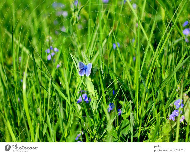 blumenwiese Pflanze Blume Gras Wiese Tier Wildtier Schmetterling 1 Blühend Duft warten natürlich Natur verstecken Tarnung blau Farbfoto Außenaufnahme