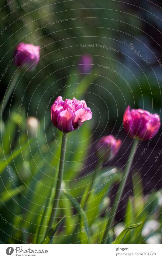 Vanitas Natur Pflanze Frühling Schönes Wetter Tulpe Blüte Garten schön Blühend Blumenbeet Blütenkelch Kontrast Menschenleer violett grün Blütenblatt Farbfoto