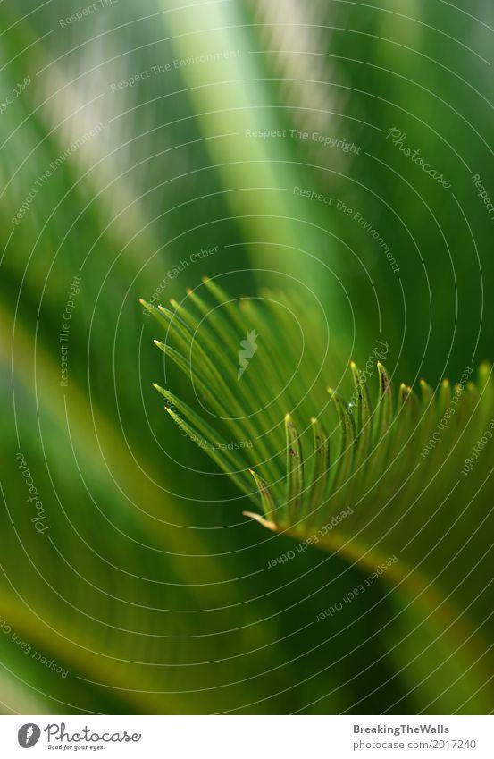 Abschluss oben von Cycasgrünblättern Natur Pflanze Frühling Baum Blatt Grünpflanze exotisch Garten ästhetisch eckig schön natürlich stachelig Farbe Tanne Zykas