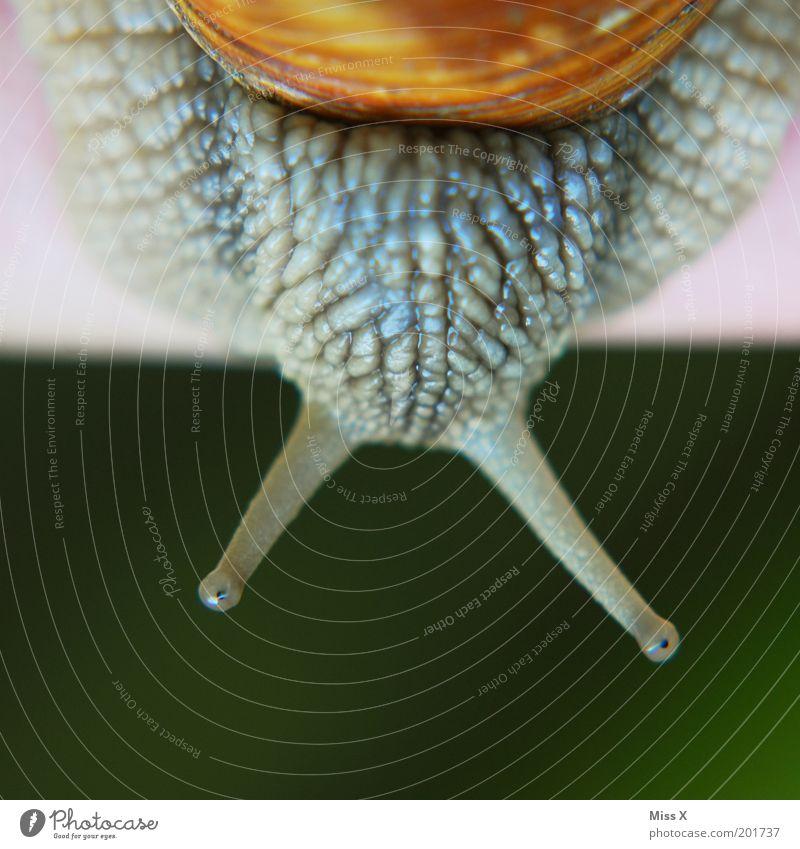 Weinbergschnecke im Q Tier Makroaufnahme Ekel Schnecke Fühler krabbeln schleimig Weichtier Weinbergschnecken