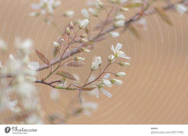 Felsenbirnen Blüten Garten Natur Pflanze Frühling Baum Blume Sträucher Duft elegant Wärme Amelanchier Ast Ernte Flora und Fauna Geografie Nutzgarten