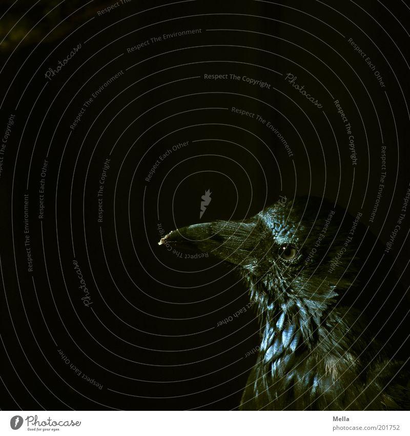 Rabenschwarz Tier Farbe dunkel Vogel Tiergesicht beobachten geheimnisvoll gruselig Neugier mystisch Schnabel klug Weisheit unheimlich Rabenvögel