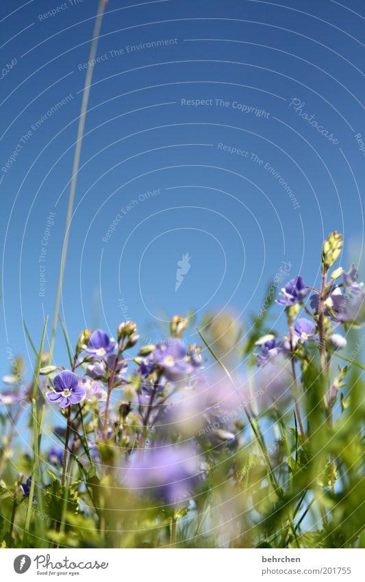 männertreu und frauenbiss Natur blau grün schön Pflanze Sommer Blume ruhig Umwelt Landschaft Wiese Gras Frühling Blüte träumen Feld