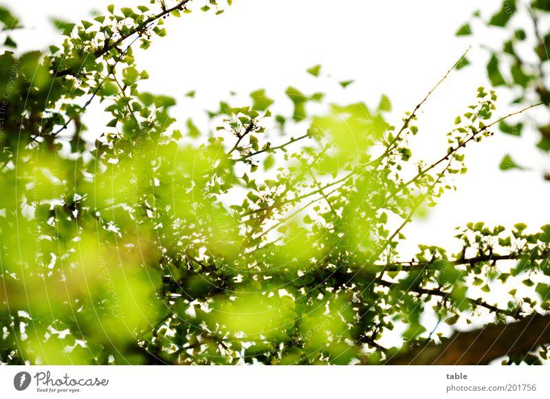 unklare Wetterlage Pflanze Blatt Ast Zweige u. Äste Ginkgo hängen leuchten Wachstum groß grün komplex Leben Natur Wandel & Veränderung Himmel Farbfoto