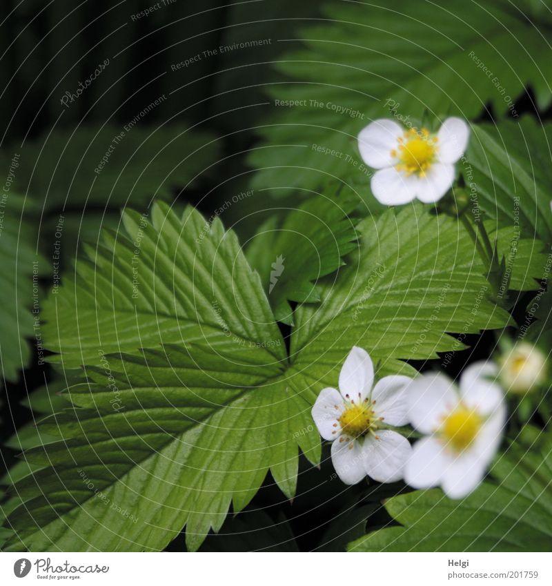 Vorfreude.... Umwelt Natur Pflanze Frühling Blatt Blüte Nutzpflanze Erdbeeren Garten Blühend Wachstum ästhetisch natürlich gelb grün weiß schön Idylle