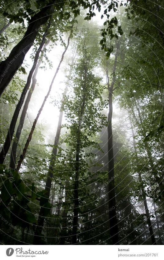 Schwäbischer Regenwald Umwelt Natur Landschaft Pflanze Sonnenlicht Frühling Klima Wetter schlechtes Wetter Nebel Baum Grünpflanze Wildpflanze Ast Zweig Geäst