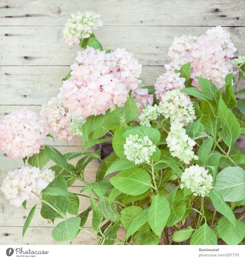 Hortensie Stil Dekoration & Verzierung Pflanze Frühling Sommer Blume Blatt Blüte Topfpflanze hell schön zart Hortensienblüte Hortensienblätter Blütenpflanze