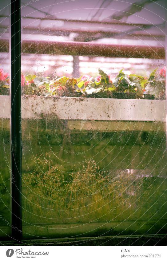 Fenstergrün alt grün Pflanze Fenster Gebäude rosa Glas dreckig Wachstum Blühend Bildausschnitt Glasscheibe Gewächshaus Gärtnerei