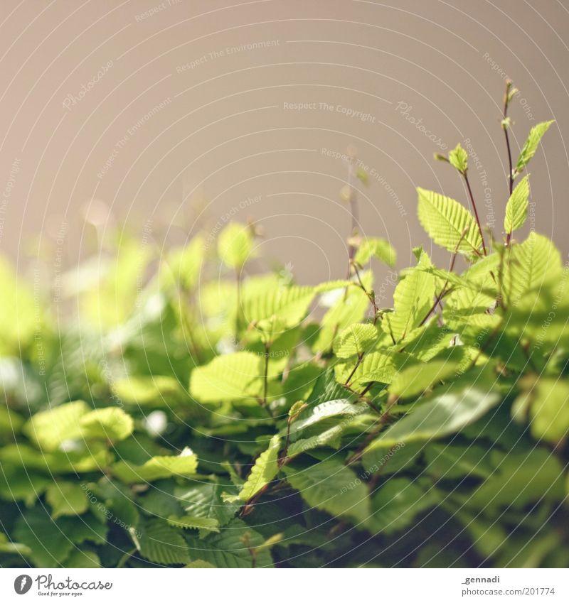 Erleuchtet Natur grün Pflanze Blatt hell Stimmung Umwelt Sträucher Hecke saftig Grünpflanze