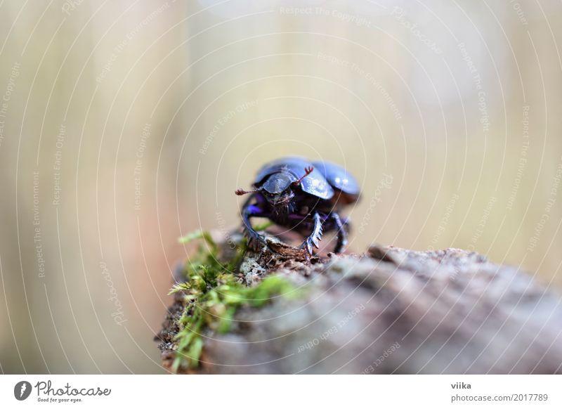 Mistkäfer Natur blau grün Baum Tier schwarz Frühling Holz klein braun stehen beobachten Tiergesicht Käfer krabbeln