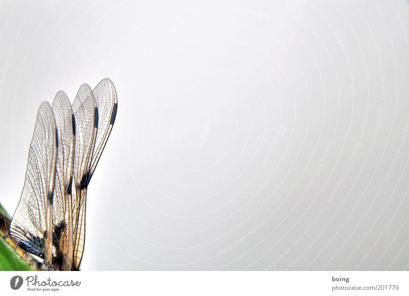 Aerodynamik Libelle Libellenflügel Platzhalter Nahaufnahme Textfreiraum rechts Flügel