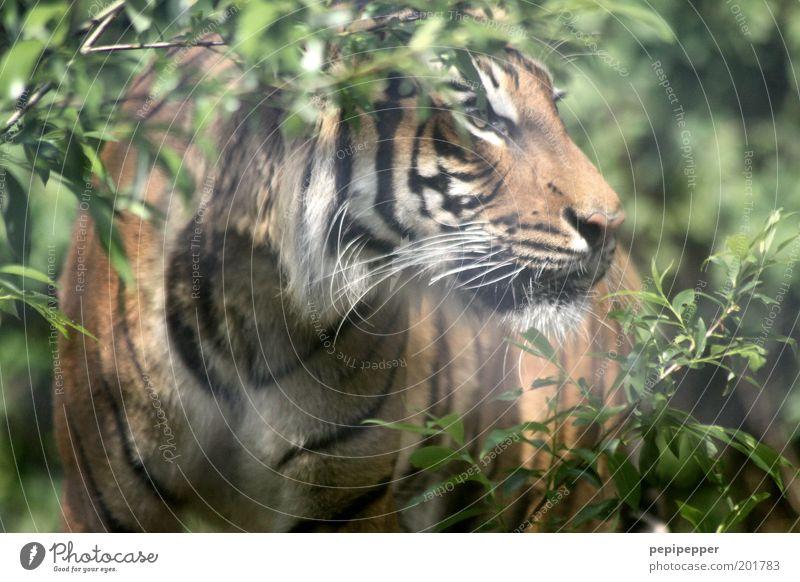 aussterbende spezies grün Pflanze Tier Katze braun Angst Tiergesicht bedrohlich Fell Zoo Wildtier Jagd Urwald Wald Tiger Fährte