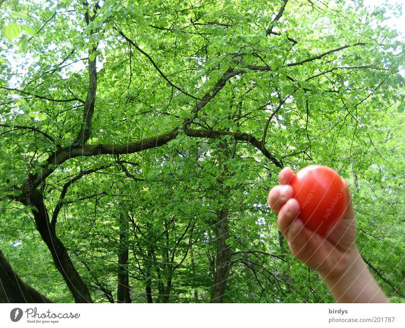 Waldtomate Frucht Hand 1 Mensch Natur Schönes Wetter saftig grün rot Farbe Idylle zeigen Kontrast Baum schön Tomate pflücken Ernte reif Kinderhand Sommer