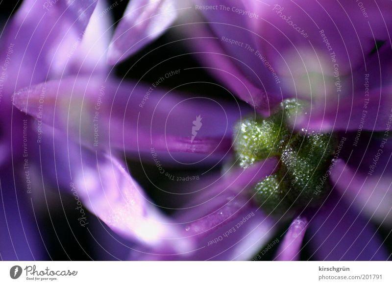Schönheit im Detail Natur Pflanze Sommer Blume Blüte exotisch frisch nah violett rosa schwarz zerbrechlich Romantik Farbfoto Außenaufnahme Nahaufnahme