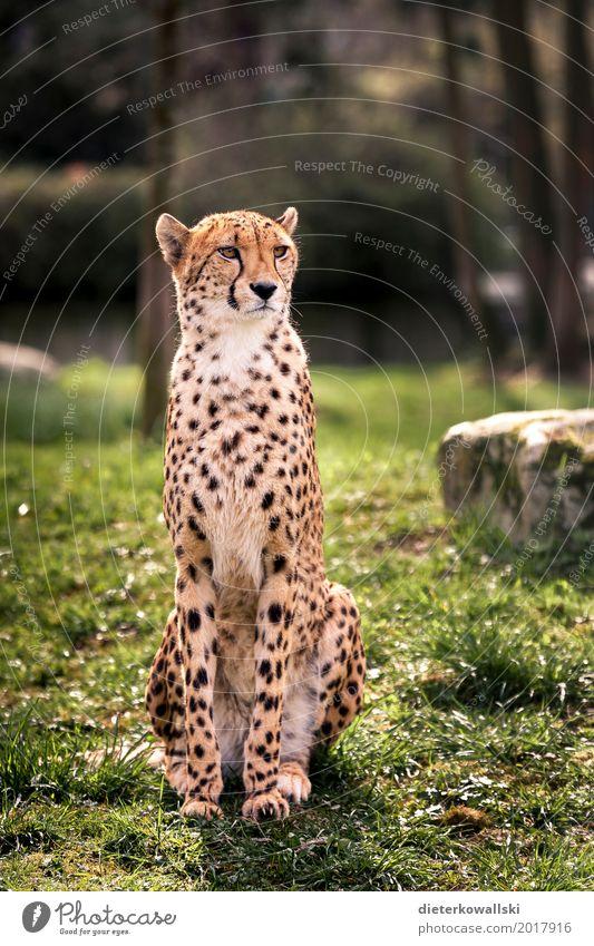 Gepard Wildtier 1 Tier elegant Geschwindigkeit schön stark majestätisch gepunktet Katze Großkatze Wachsamkeit Zoo Gehege gefangen Farbfoto mehrfarbig