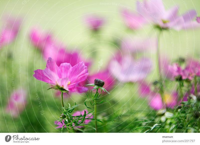 Cosmea Natur schön Blume grün Pflanze Sommer Blüte Frühling Garten hell rosa elegant frisch ästhetisch Romantik zart
