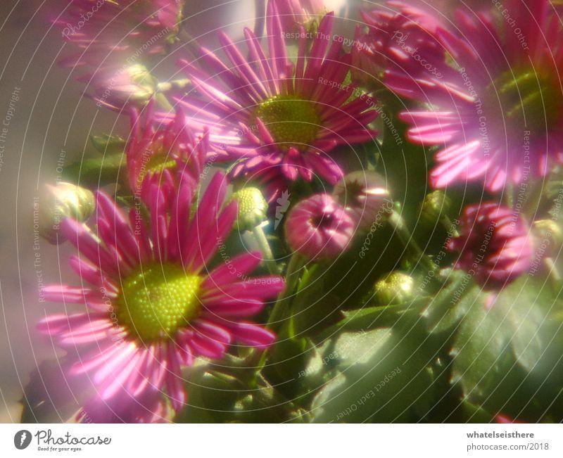 blumen Blume rosa Fischauge Natur blur