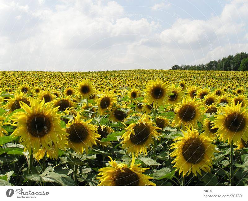 Sonnenblumenfeld Sonnenblumenfeld