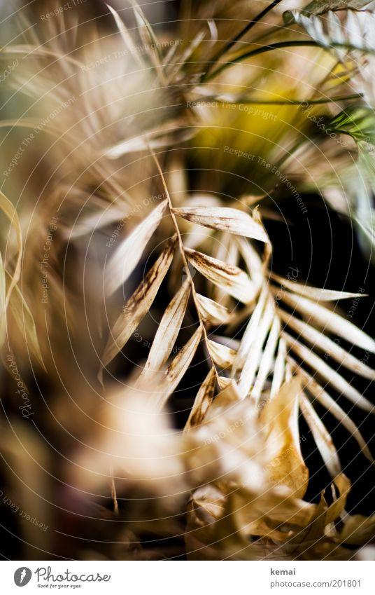 Es war einmal Pflanze Grünpflanze Topfpflanze Palmenwedel verblüht alt kaputt vertrocknet getrocknet hängen lassen Dürre trocken Pflanzenpflege Grüner Daumen