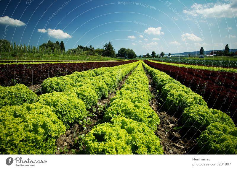 Salatkrönung und fertig. Natur grün blau Pflanze Ernährung Ferne Garten Feld Gesundheit klein Lebensmittel Umwelt Erde frisch neu Wachstum
