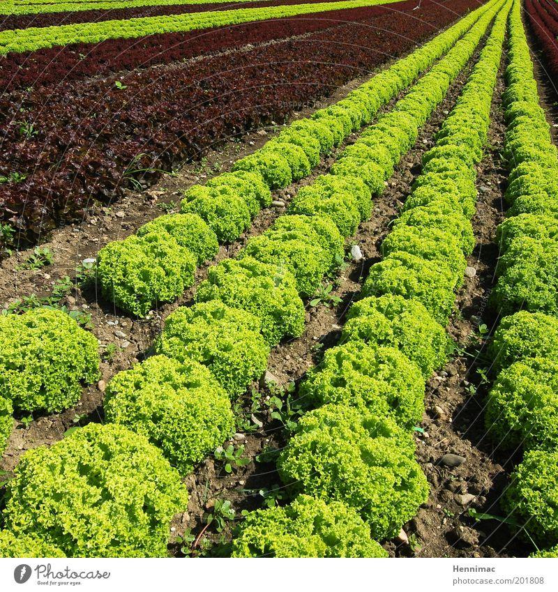 Salatfix und fertig. Natur grün Ernährung Garten Feld Gesundheit Umwelt frisch Perspektive Ordnung Wachstum Sauberkeit Gemüse lecker Appetit & Hunger Reihe