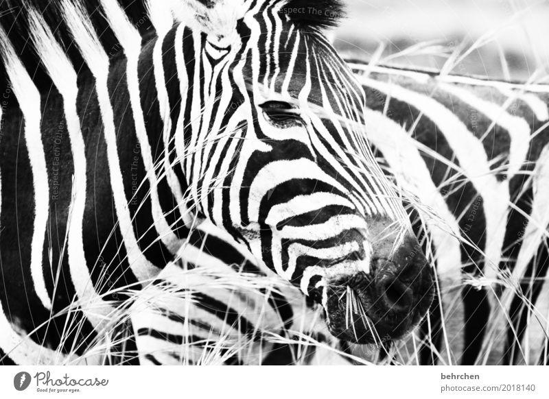 schwarz weiß Ferien & Urlaub & Reisen Tourismus Ausflug Abenteuer Ferne Freiheit Safari Natur Gras Südafrika Wildtier Tiergesicht Fell Zebra 2 beobachten